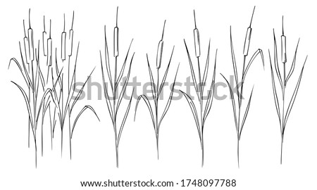 Cattail, reeds, cane, thickets of cattail, hand-drawn black and white graphic sketch on white background Foto stock ©