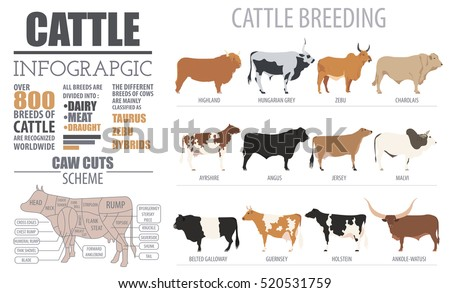 Cattle breeding farm infographic template. Cow, angus and calf icon set. Flat design. Vector illustration