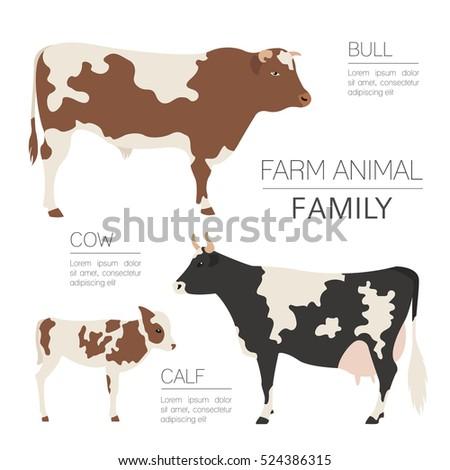 Cattle farm infographic template. Cow, bull, calf family. Flat design. Vector illustration