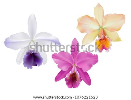 cattleya orchids hand drawn
