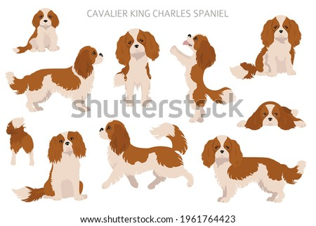 Cavalier King Charles spaniel clipart. Different poses, coat colors set.  Vector illustration Photo stock ©
