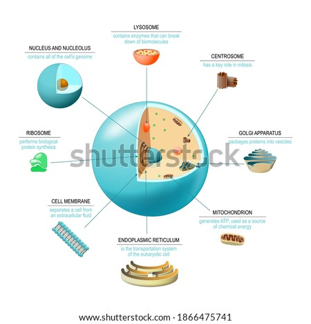 Cell anatomy. Structure and organelles of human's cell. Cross sections of animal cell: nucleus, nucleolus, mitochondria, centrosome, golgi apparatus, endoplasmic reticulum, ribosome and membrane. Stock photo ©