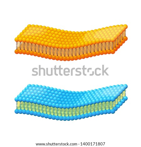 Cell membrane. A detailed diagram of Liposome bilayer membrane on white background. Vector illustration for educational, biological, medical, and scientific use