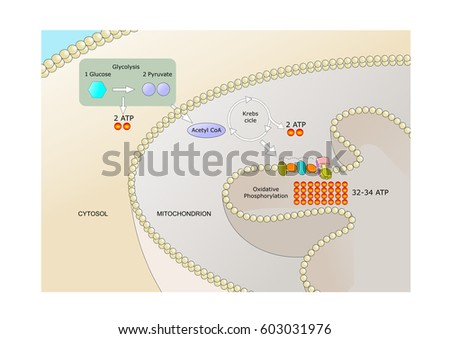 Shutterstock cellular respiration: a set of metabolic reactions to produce biochemical energy from nutrients