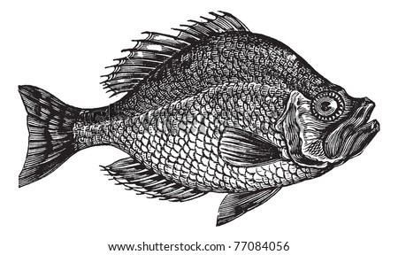 Centrarchus aeneus or rock bass fish vintage engraving. Old engraved illustration of Centrarchus aeneus.  Trousset encyclopedia.