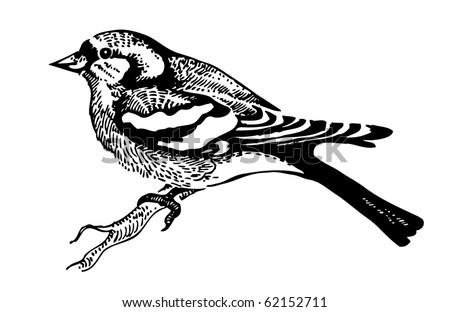 Chaffinch bird, hand-drawn illustration