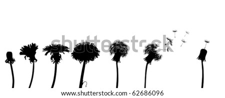 chain of the dandelion flowers on white background