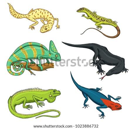 chameleon lizard  green iguana