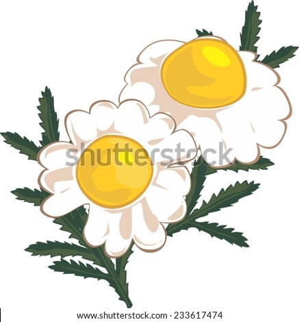 chamomile flowers for tea
