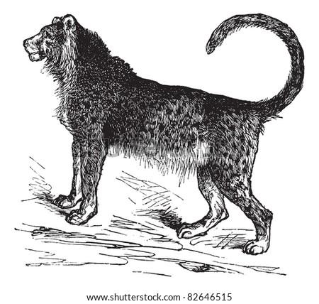 Cheetah (Acinonyx jubatus) vintage engraving. Old engraved illustration of beautiful cheetah. Trousset encyclopedia (1886 - 1891).