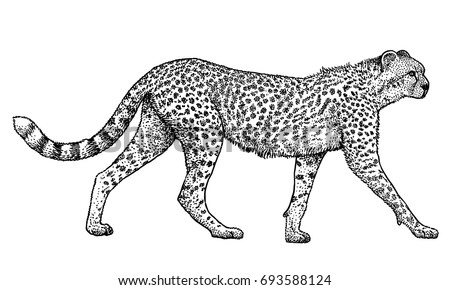 Cheetah illustration, drawing, engraving, ink, line art, vector