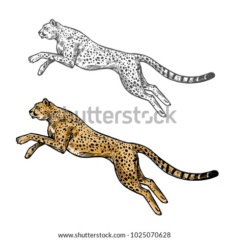 Cheetah wild African animal vector sketch icon. Savanna jaguar panther or cougar symbol for wildlife fauna and zoology or hunting sport team trophy symbol and nature zoo adventure club design