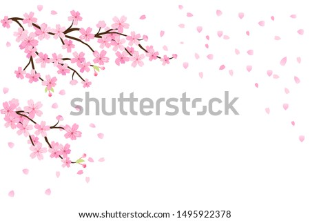 cherry blossoms  spring flower