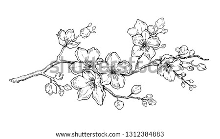 Cherry flower blossom, botanical art. Spring almond, sakura, apple tree branch, hand draw doodle vector illustration. Cute black ink art, isolated on white background. Realistic floral bloom sketch.
