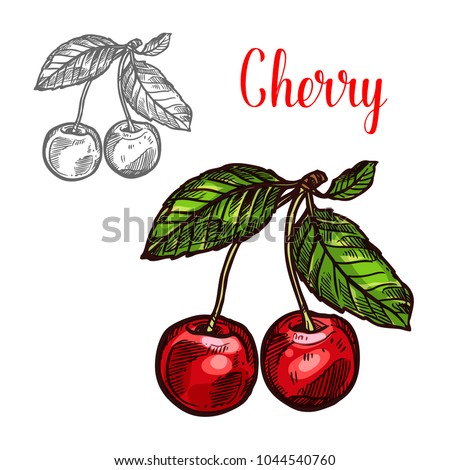 Cherry fruit sketch icon. Vector isolated symbol of fresh farm grown cherries bunch with green leaf berry for juice or jam dessert or farmer market and botanical design