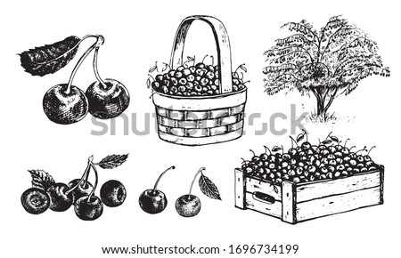 Cherry in a basket, cherry in a box, half an cherry, an cherry with a leaf, cherrytree. Vector graphics for labels, menus or packaging design.