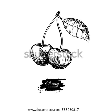 cherry vector drawing. isolated ...