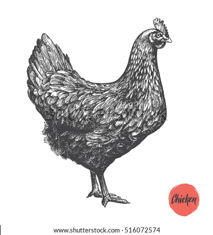 Chicken hand drawn illustration. Chicken meat and eggs vintage produce elements. Badges and design elements for the chicken manufacturing. Vector illustration