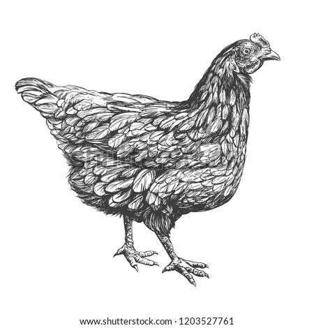 chicken hand drawn vector illustration realistic sketch