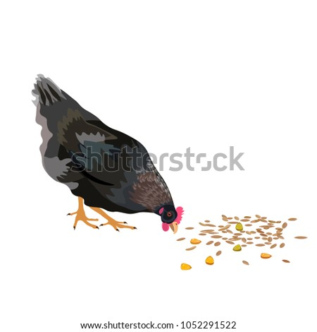 Chicken pecking grain. Vector illustration isolated on white background