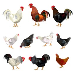Chicken set. Vector illustration isolated on white background