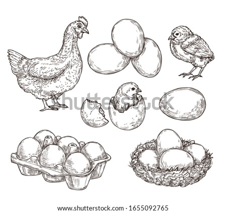 Chicken sketch. Healthy natural farm eggs. Vintage hand drawn hen bird, little chick nest. Isolated rustic products vector illustration