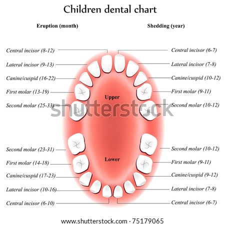 Children Teeth Anatomy Shows Eruption And Shedding Time Dental Titles
