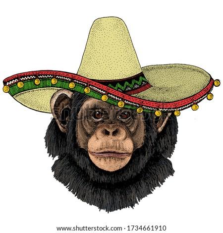 chimpanzee  chimp portrait