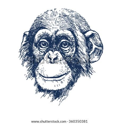 chimpanzee hand drawn vector illustration