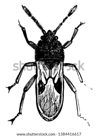 Chinch Bug is the popular name of certain fetid American hemipterous insects of the genus Blissus, vintage line drawing or engraving illustration.