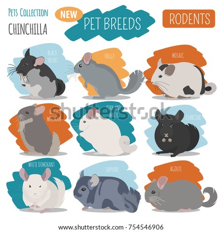 Chinchilla breeds icon set flat style isolated on white. Pet rodents collection. Create own infographic about pets. Vector illustration