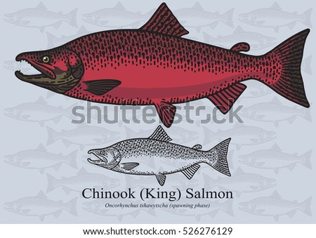 chinook  king  salmon vector