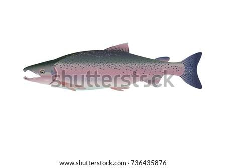 chinook salmon vector vector