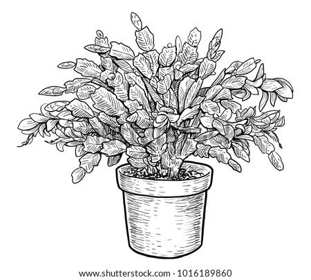 Christmas cactus schlumbergera illustration, drawing, engraving, ink, line art, vector