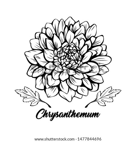 Chrysanthemum black and white vector illustration. Beautiful golden daisy flower, elegant blooming bud decorative freehand drawing. Botany, floristry banner design element with calligraphy