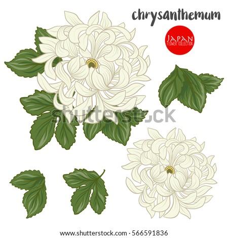 chrysanthemum flowers stock