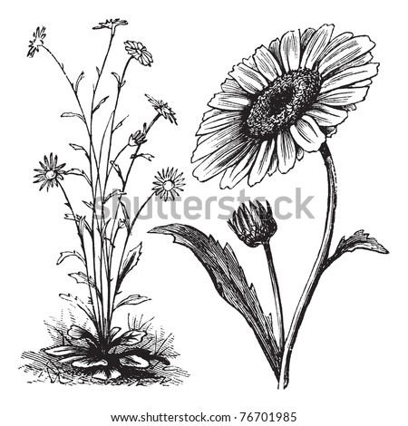 Chrysanthemum sp., vintage engraving. Old engraved illustration of a Chrysanthemum. Trousset Encyclopedia