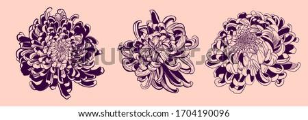 chrysanthemum vector on pink