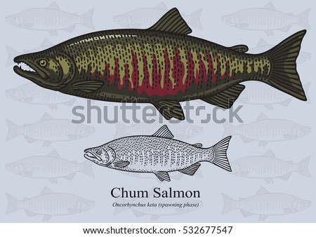 chum  dog  salmon  keta vector