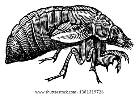 Cicada Larva is a family of homopterous hemipterous insects, vintage line drawing or engraving illustration.