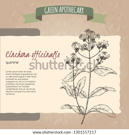 Cinchona officinalis aka quinine or Jesuit bark sketch. Green apothecary series. Great for traditional medicine, or gardening.
