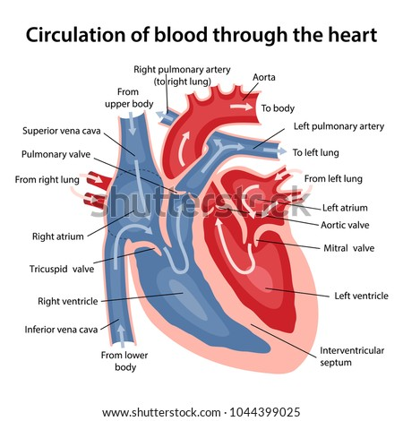 Circulation of blood through the heart. Cross sectional diagram of the  heart with main parts labeled. Vector illustration
