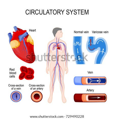 circulatory system: heart, cross-section artery and vein, red blood cells. Cardiovascular system or the vascular system. illustration for your design and medical use. human anatomy