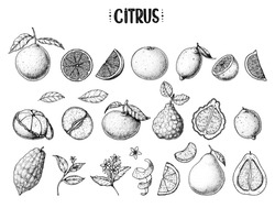 Citrus hand drawn vector illustration. Sketches for design. Black and white. Sketch. Grapefruit, orange, mandarine, pomelo, bergamot, citron, lemon, tangerine, clementine, lime, set, collection