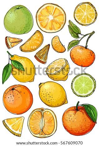 Citrus. Set of fruit. Fresh food. Lemons, oranges, mandarin, pomelo, lime.  Vector illustration.