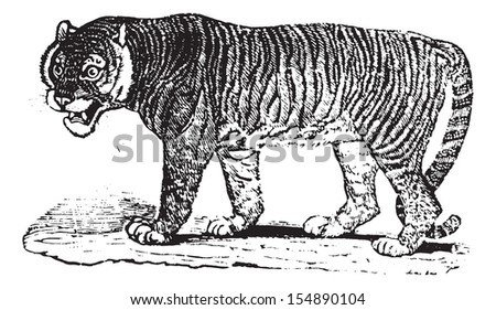 Close up of a Tiger, vintage engraved illustration. Animaux Sauvages et Domestiques - For kids - 1892.