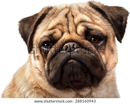 close up of pug  isolated on