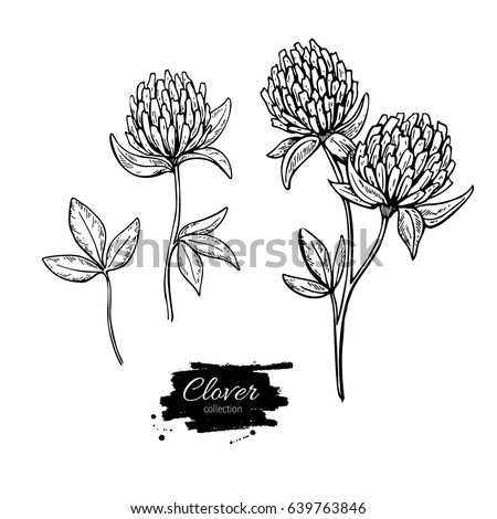 Clover flower vector drawing set. Isolated  wild plant and leaves. Herbal engraved style illustration. Detailed botanical sketch