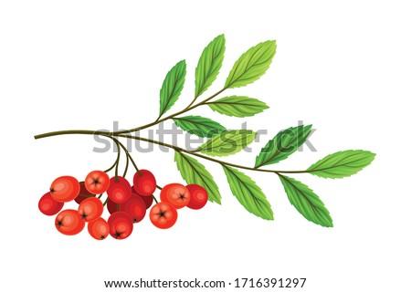 cluster of rowan berries