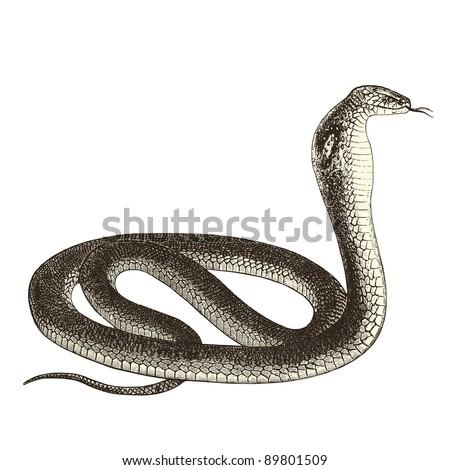"Cobra - vintage engraved illustration - ""Cent récits d'histoire naturelle"" by C.Delon published in 1889 France"